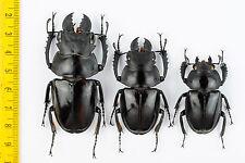 LUCANIDAE - Odontolabis latipennis (2 Males + 1 Female) - MALAYSIA - 2157