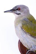 Taxidermy Grey-faced Woodpecker Bird Stuffed mount animal Picus canus