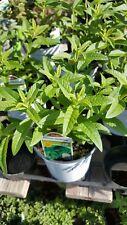 """Lemon Verbena - Aloysia triphylla -   1 Plants - Ship in 3"""" Pot"""