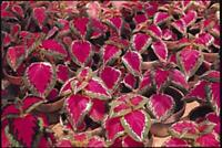 Coleus Seed: Color Pride Coleus Seeds 40 Seeds  Fresh Seed  FREE Shipping