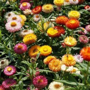 Strawflower- Tom Thumb Mix- 200  Seeds- BOGO 50% off SALE