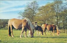 Haflinger mares and foals at chatsworth
