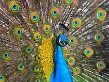 NATURE PHOTO BIRD PEACOCK FEATHER BLUE GREEN BEAUTIFUL POSTER ART PRINT BB1543B