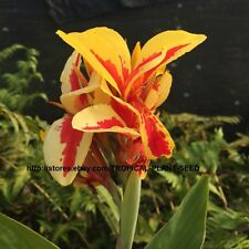 10 seeds Red & Yellow canna lily very beautiful, not plant, flower, pond plant