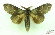Stauropus fagi Lobster Moth SET x1 Male Natural History specimen insect