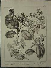 1806 DATED FLOWER PRINT CAROLINA ALSPICE COMMON BLADDER LENNA NEW JERSEY TEATREE
