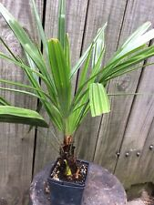 extremely cold hardy needle palm fully rooted quart size plant nice size