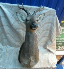 Taxidermy - deer head for hunter interior