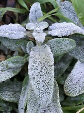 Lambs ears plants x 5, Stachys, Sensory gardens, drought tolerant, easy to grow