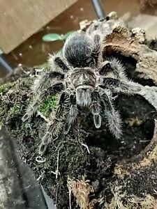 Tarantula live food! T Albopilosum aka 'Curly Hair.' 9-10cm Sub-adult (Unsexed)