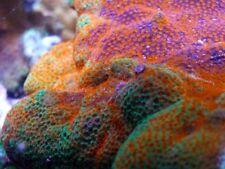 New listing WoW Rainbow Sunburst Montipora Acropora Tankraised Live Coral Lps Fish Aquarium