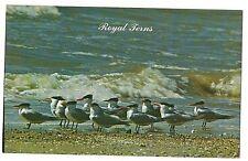 Royal Terns Related to Sea Gulls Wild Ocean Salt Water Birds Postcard