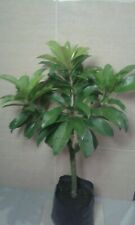 Pokok Ciku ( manis/sawo/jantung ) / Sweet Ciku tree
