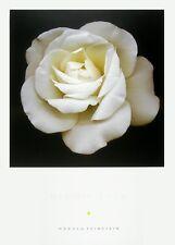 Harold Feinstein CREAM ROSE poster stampa d'arte immagine 91x66cm