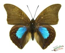 blue patch butterfly Noreppa (Prepona) chromus SETx1 nymphalidae Pery insect art