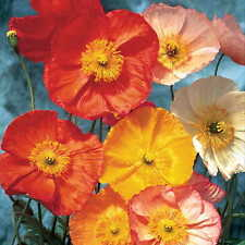 Beautiful Poppy Mix! 100 Seeds! See Our Store Over 700 Rare Kinds Of Seeds!