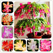 Schlumbergera Flores Christmas Seeds Plants Cactus Asbonsai For Home 100pcs/bag