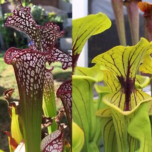 S-016 Leucophylla 'red, Trent Meeks' x Ornata 'Phil Faulisi' - Sarracenia Seeds