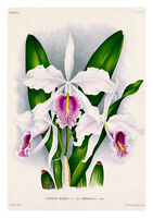 Cattleya Manima Virginalis by Jean Linden Orchids A4 Art Print