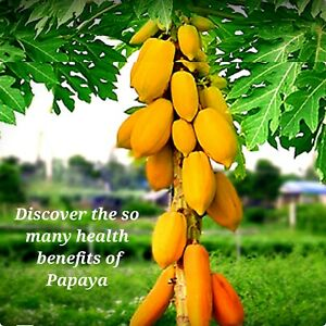 Papaya Seeds, 50 Seeds  Proven Very  Sweet, Healthy, Free Shipping