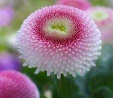 50+ Bellis English Daisy Strawberries And Cream Flower Seeds / Perennial