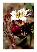 Strophanthus Petersianus * Poison Rope * Stunning Shrub * Very Rare 5 Seeds