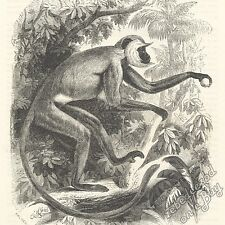 Grey Langur (Entellus Monkey): antique 1866 engraving print: primate picture art