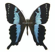 Unmounted Butterfly/Papilionidae - Papilio mangoura, RARER, male, Madagascar