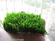 Flame Moss Wire pad Taxiphyllum Tropical Aquarium Plant live Shrimp Fresh Water