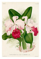 Cattleya Trianae Imperator by Jean Linden Orchids A4 Art Print