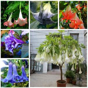 Brugmansia Flower Tree Datura 200 PCS Seeds Rare Colorful Decor Plant Garden NEW