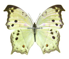 Unmounted Butterfly/Nymphalidae - Salamis parhassus, male, CAR, A-