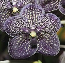 Orchid Vanda Gordon Dillon Lea exotic tropical plant