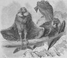 BIRDS. Condors at rest, antique print, 1874