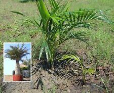 2 x Kokospalme für draußen kleine Kokosnüsse ernten Palmen winterhart frosthart