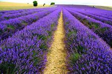 Lavender Seeds French Lavender Seeds Flower Seeds Very Fragrant Home Garden Tree