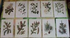 10 Ancienne Gravures Planches 1960 Chèvrefeuille des Bois,Épicéa,Sapin,Pin