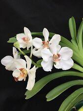 "Vanda barnesii Seedling 2"" Pot White Medium Size Intermediate To Cool Grower"