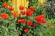 *Massive* Exotic Red Poppy, Papaver orientale, Flowers Oriental Garden Canada