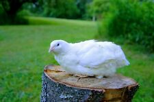 50 White Coturnix Quail Hatching Eggs Shipped In Foam For Protection