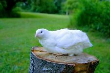 25 + White Coturnix Quail Hatching Eggs Shipped in Foam for Protection