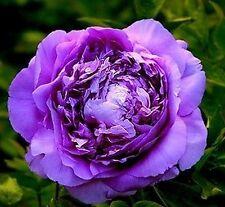 FD696 20 Seeds Chinese Purple Peony Flower Seed Beautiful Hot Flora Garden 20pcs