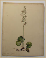 Rundblättriges Wintergrün Pyrola rotundifolia um 1850 Aquarell Natur Kunst sf
