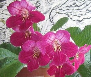 50+ Seeds ex Streptocarpus 'Hope,' 'Natalie,' 'Ruby,' 'Nerys,' 'Bethan,' 'Leyla'