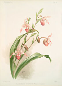 Selenipedium Hybridum Weidlichianum By Joseph Sander Floral Print