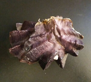 quite remarkable Ostraea (Lopha) cristagalli, pair, 101mm