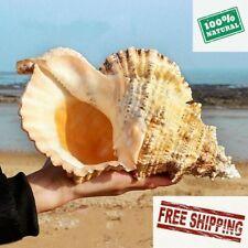 Big Conch Shell Large Natural Tridacna Clam Marine Home Furnishing Giant Sea