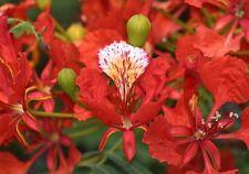 Delonix regia - Royal Poinciana - Rare Tropical Plant Tree & Bonsai Seeds (5)