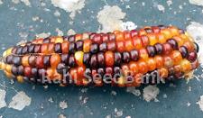 Corn Purple Orange - A Rare, Unique & Stunning Purple & Orange Glass Gem Corn!!!