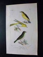Gravure couleur 19°:oiseaux d'Europe:dans l'esprit Buffon:Bec-fin siffleur